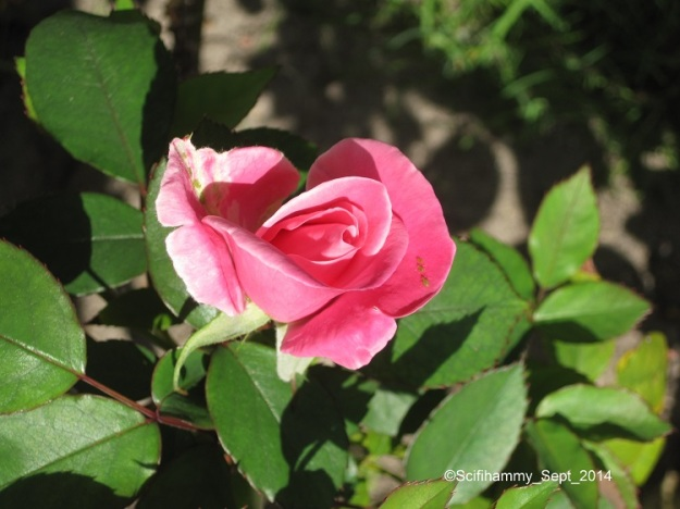 The First Rose Bud - still Orson