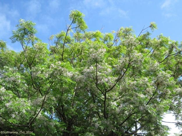Syringa Tree