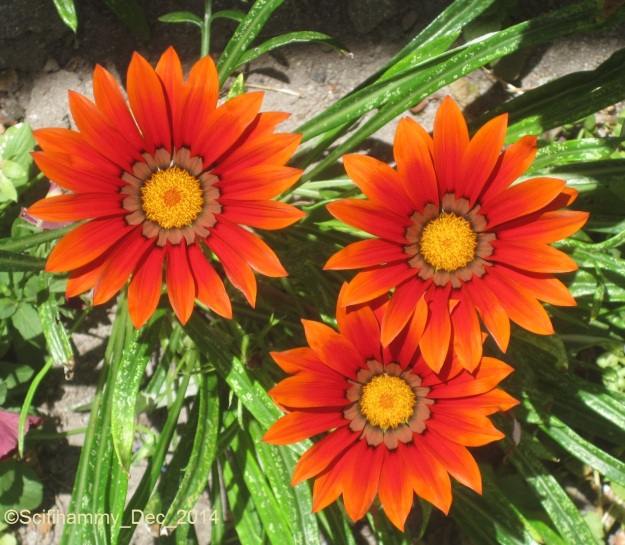 African Daisies 2