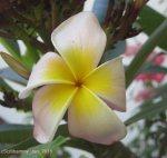 Frangipani flower 2