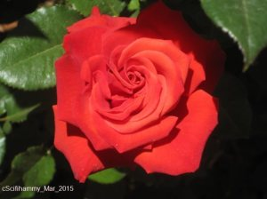 Red Red Rose 2 - Orson