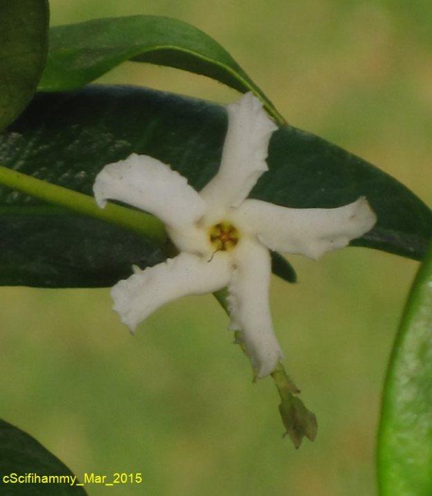 Jasmine Star 1
