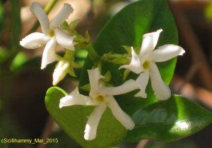 Jasmine Photo A