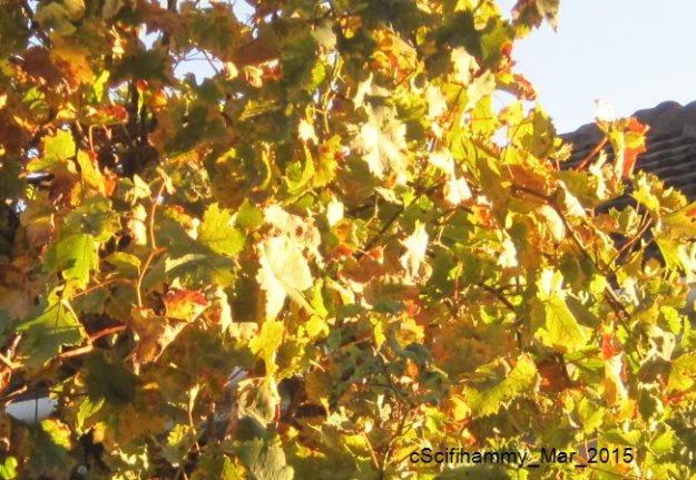 Setting Sun Lights up Grape Vine