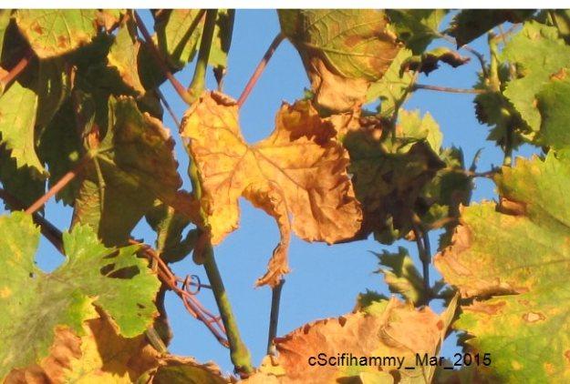 Golden Grape Vine Leaf