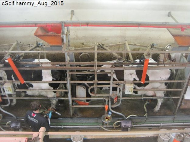 Cows 8