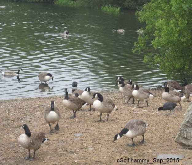 Gaggle of Geese 1