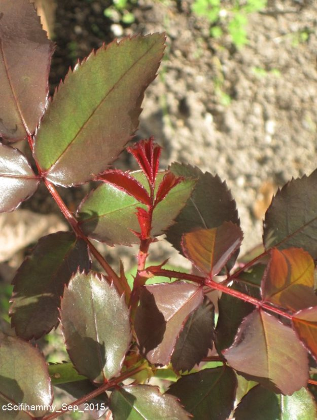 Red Roses - Leaves 2