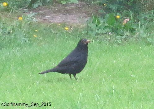 Beady-Eyed Blackbird