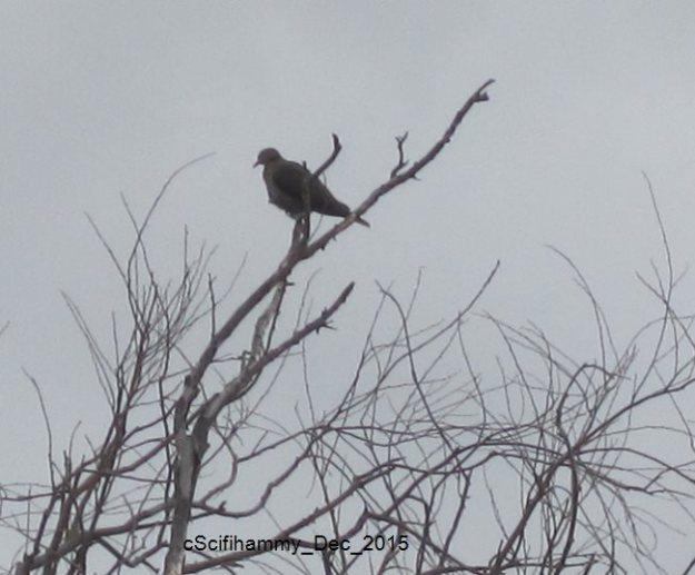 Partridge in a Pear Tree 1