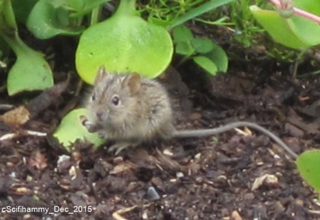 Striped Mouse 1