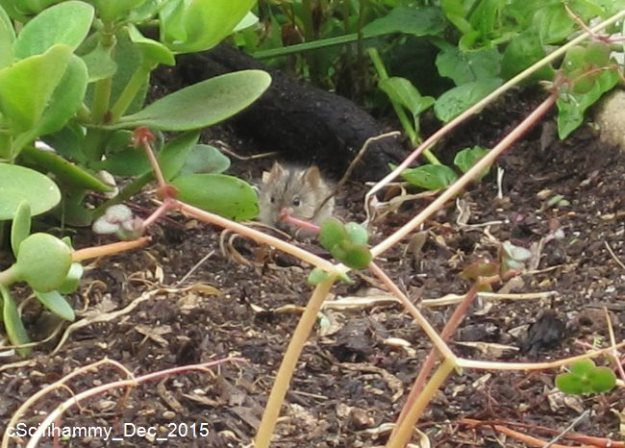 Striped Mouse 2