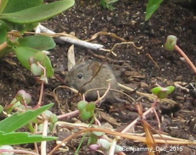 Striped Mouse 3