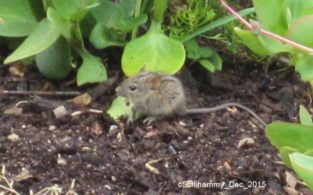 Striped Mouse 4