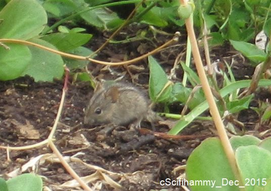 Striped Mouse 5
