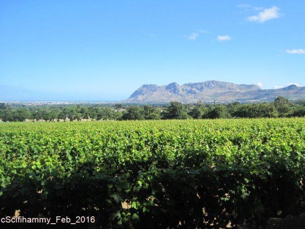 Cape Vineyards 1