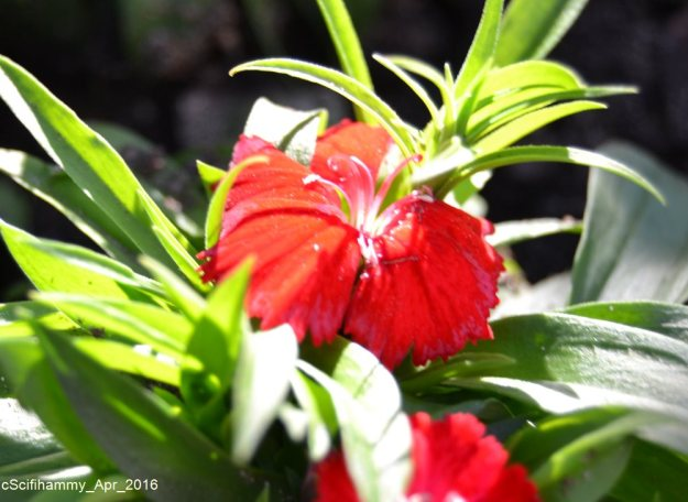Dianthus 4