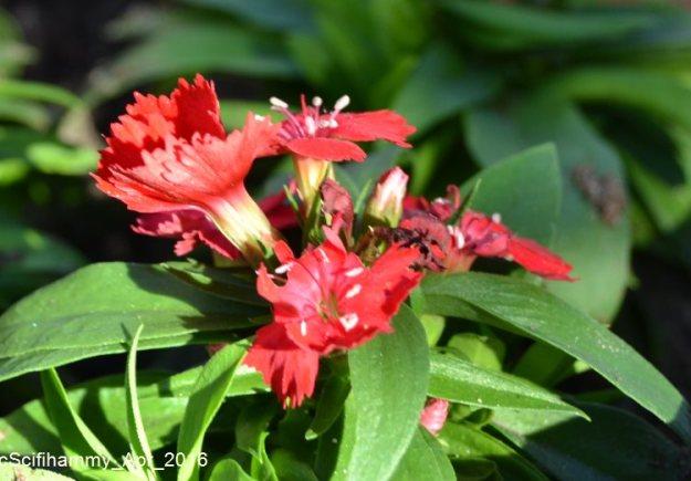 Dianthus 3