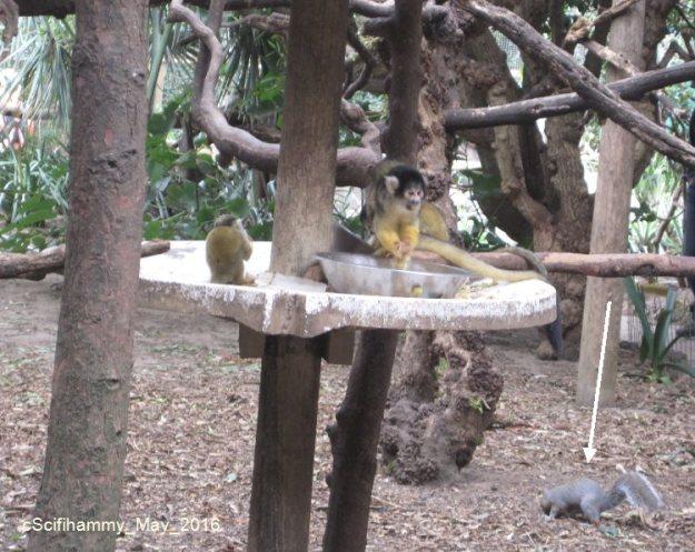 Squirrel Monkey 3