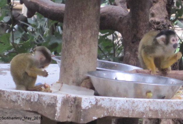 Squirrel Monkey 2