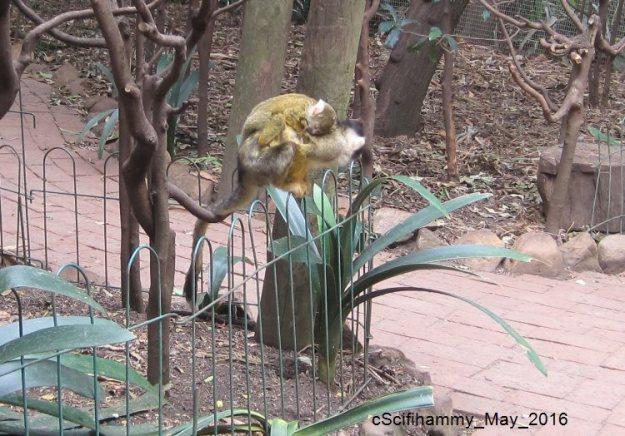 Squirrel Monkey 4