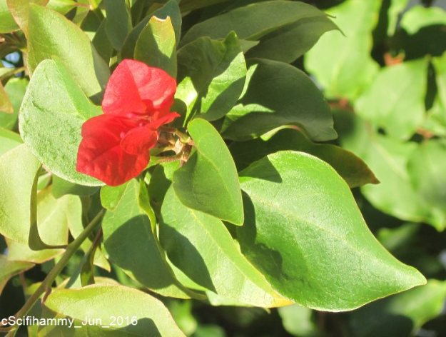 Bougainvillea 2