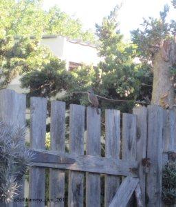 Cape Robin 3