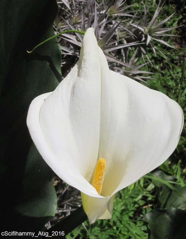 Arum Lily 1