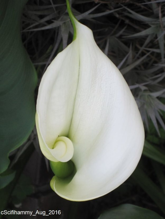Arum Lily 3