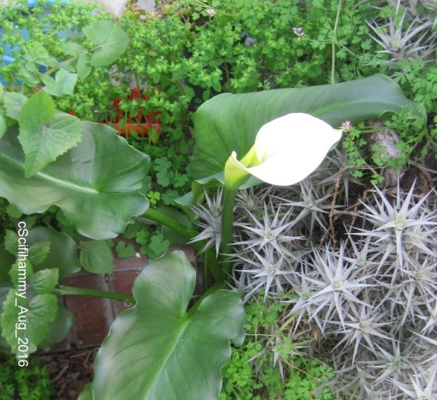 Arum Lily 4