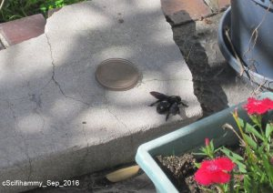 Violet Carpenter Bee 3