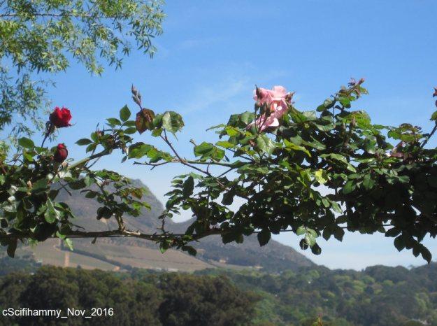 Climbing Roses 1