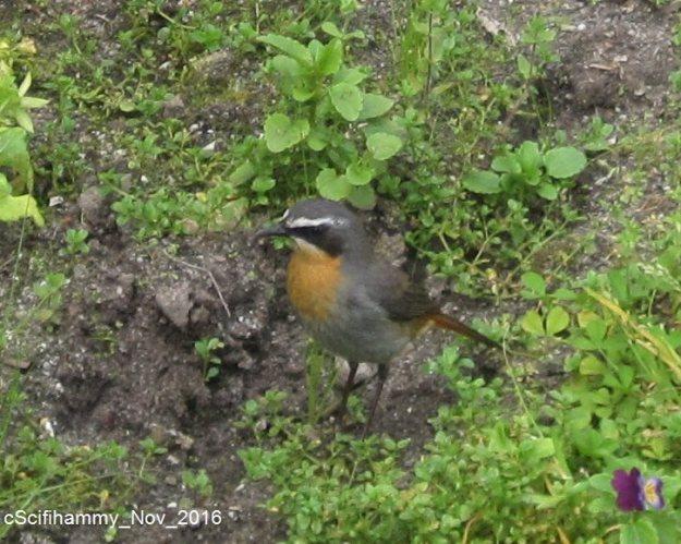 Cape Robin 1