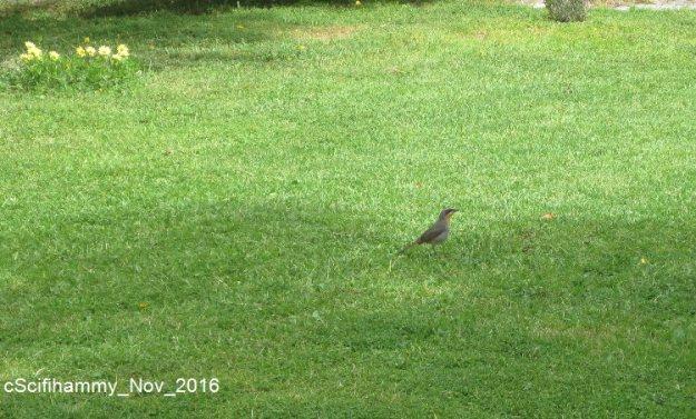 Cape Robin 4