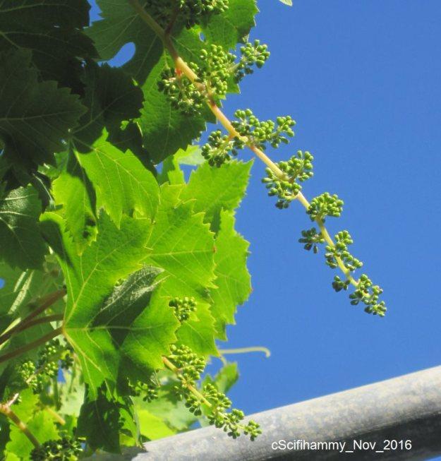 Grapevine 1